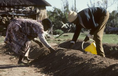 Workers planting asparagus